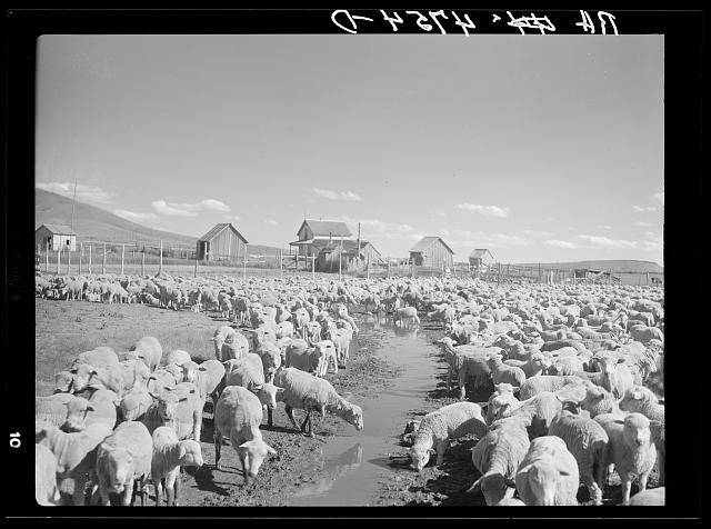 The former Colonel Smith ranch, now the property of the Resettlement Administration. It is the favorite stopover place for sheep in transit. Central Oregon grazing project
