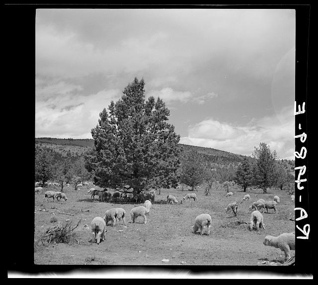 Sheep grazing in central Oregon