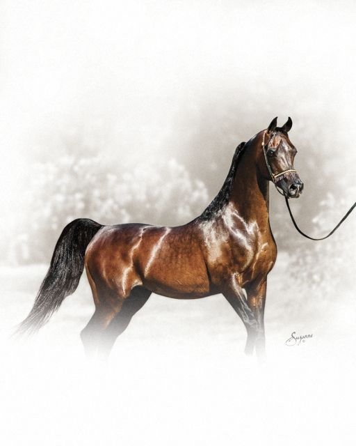 Egyptian Arabian Stallion Thee Desperado