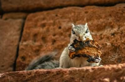 squirrel ragu native