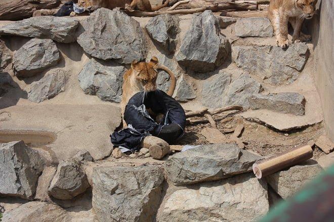 # Zoo Jeans 讓老虎、獅子當設計師:這才是真正的獸爪牛仔褲! 12