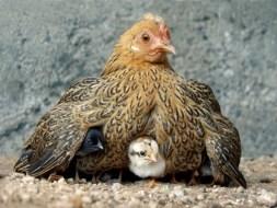Image result for hen gathering chicks
