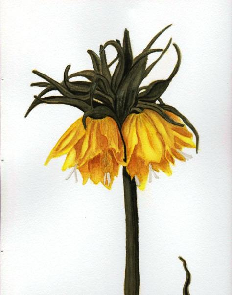 Fritillaria imperialis 'Lutea'-indigenous to deciduous woodlands of Iran and Turkey