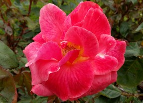 weekend-belfast-botanic-gardens-rose-2