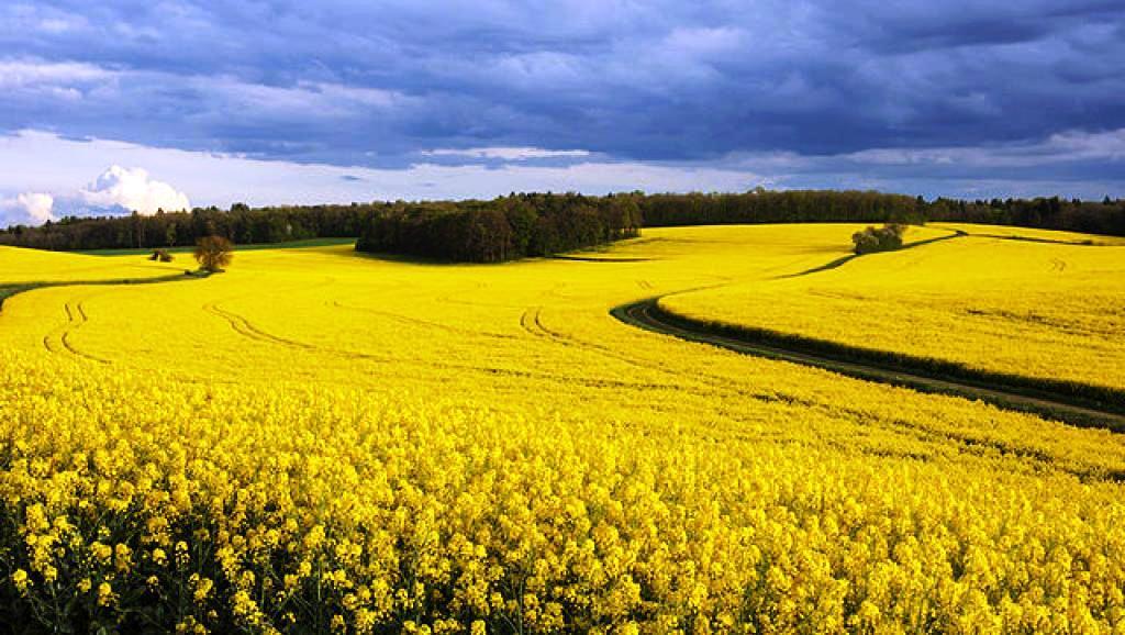 Monsanto dissémine des OGM interdits
