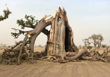 baobabs sacrés