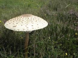 champignon-coulemelle