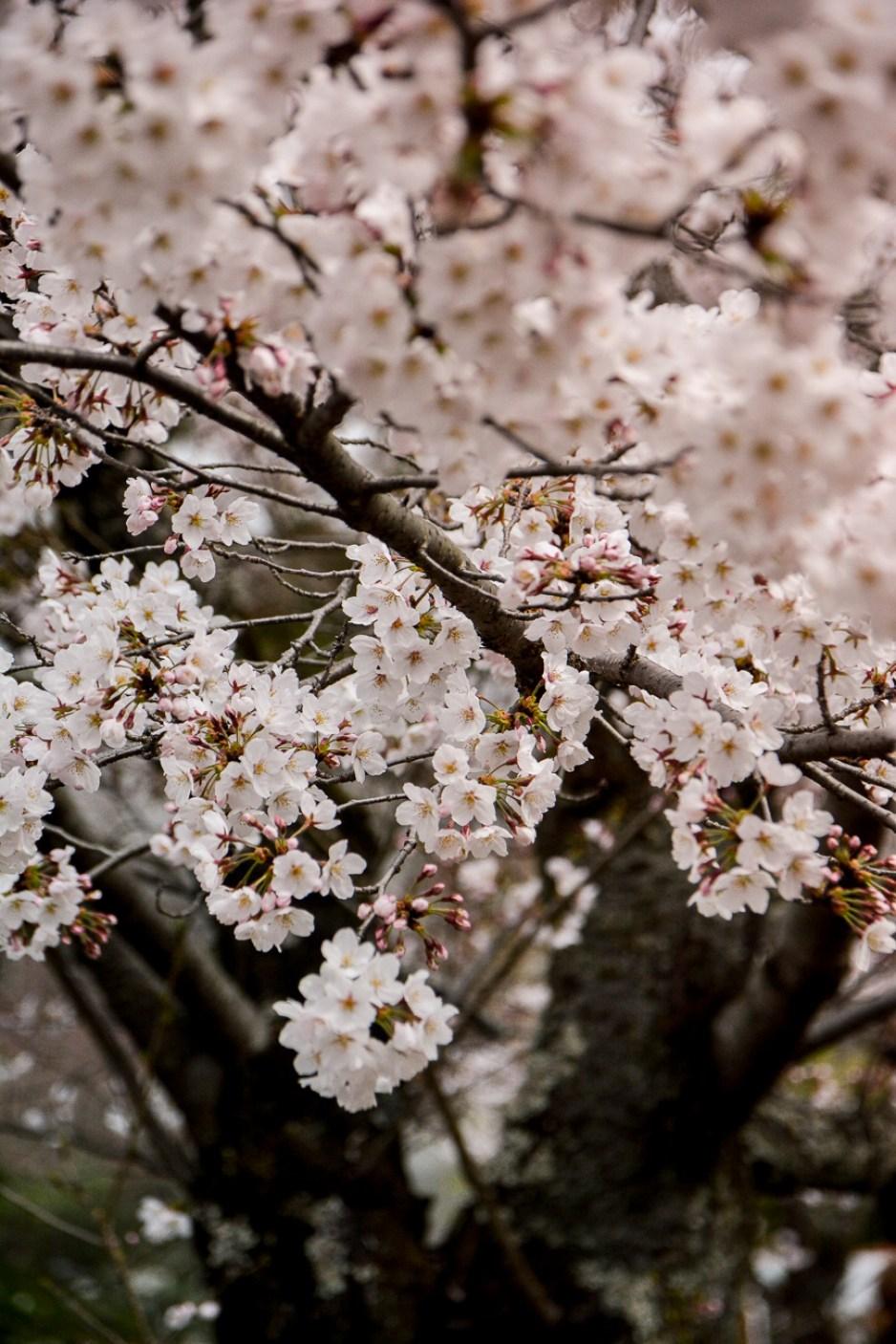 Le jardin de Maruyama est l'un des meilleurs endroits à Kyoto pour observer les cerisiers en fleurs pendant Hanami