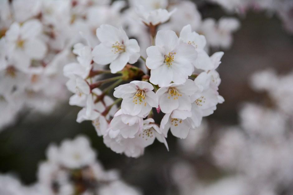 Ozaki Canal est l'un des meilleurs endroits pour voir les cerisiers en fleurs à Kyoto pendant Hanami
