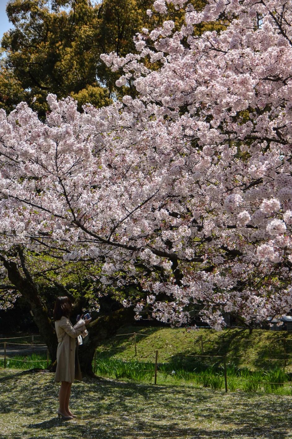 voyage tokyo Hamarikyu Gardens hanami cerisiers fleurs