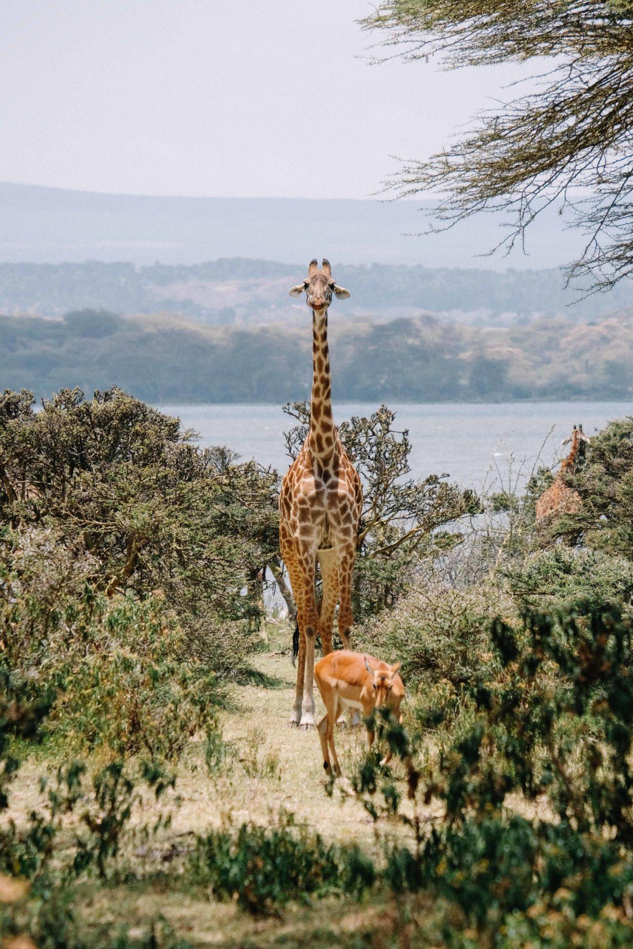 voyage au kenya, naivasha
