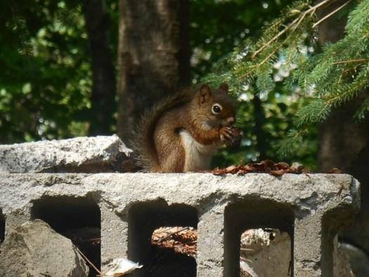 ecureuil mange une noisette