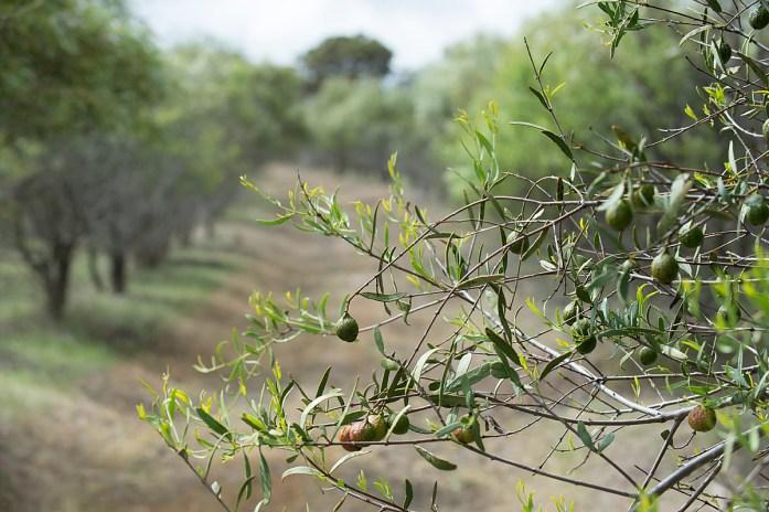 Plantation arbre de santal australien
