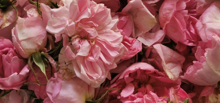 roses bulgares