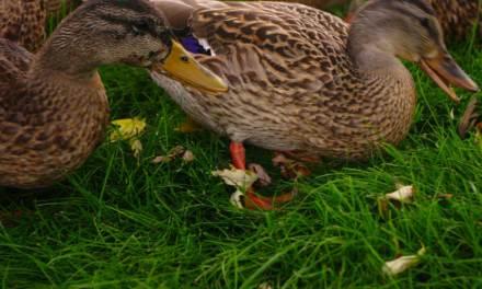 Grippe aviaire : la zone d'abattage étendue à 187 communes