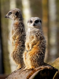 Meerkats know what their network buddies are up to!