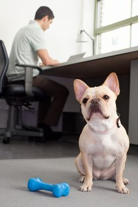 bigstock-French-bulldog-sitting-in-an-o-20391863