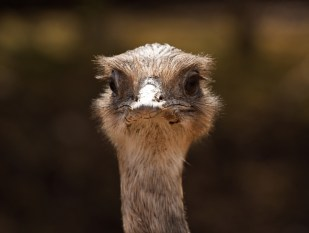 Ostrich Classic Portrait