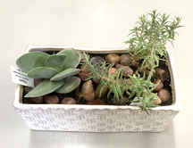 Succulent Planter featuring Falcata & Sea Urchin plants