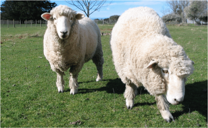 Sheep in the Bible: 5 Lessons Learned from Being a Shepherd