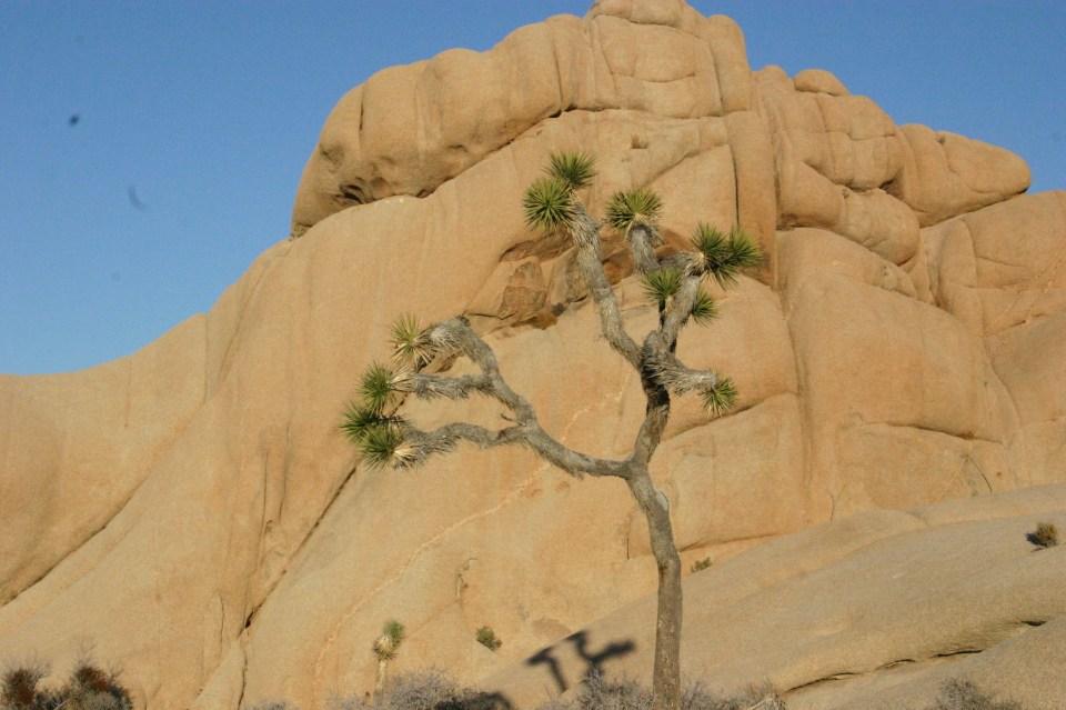 Joshua Tree Perserverance