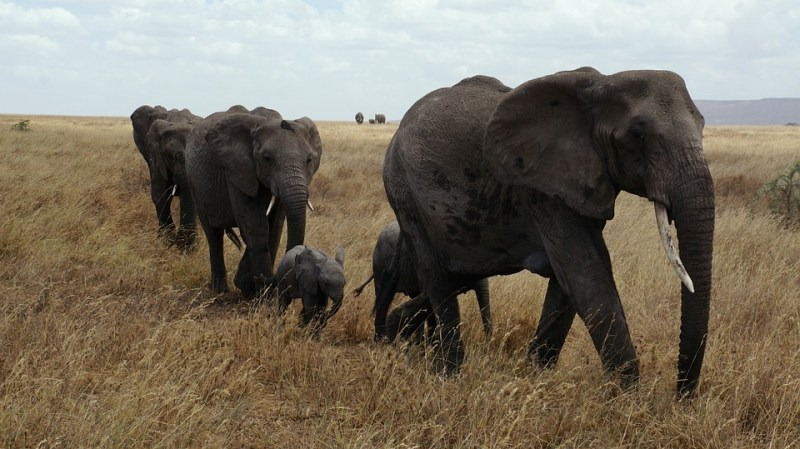 Bush and Beach Safari: elephants in Serengeti