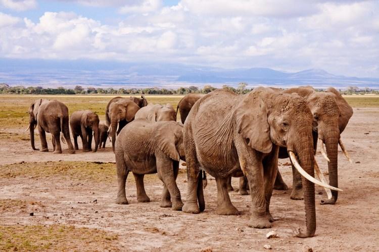 Safari Vacation Package:: large herds of elephants in Kenya