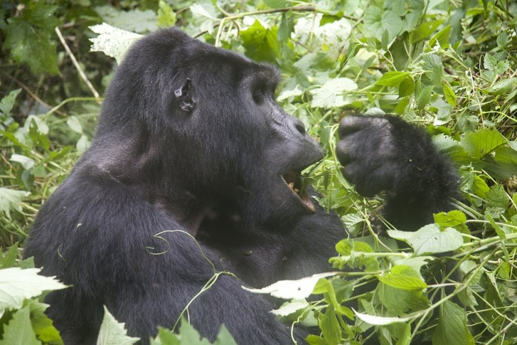 Safari Vacation Package:mountain gorilla in Uganda