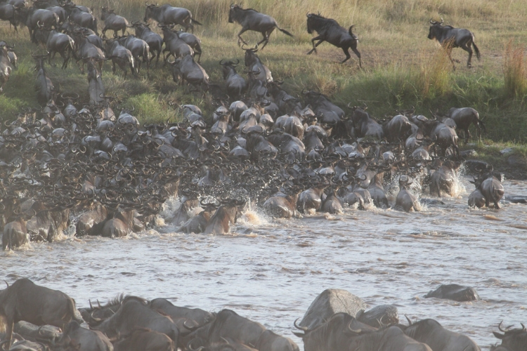 Migrating wildebeest attempt to cross the river.