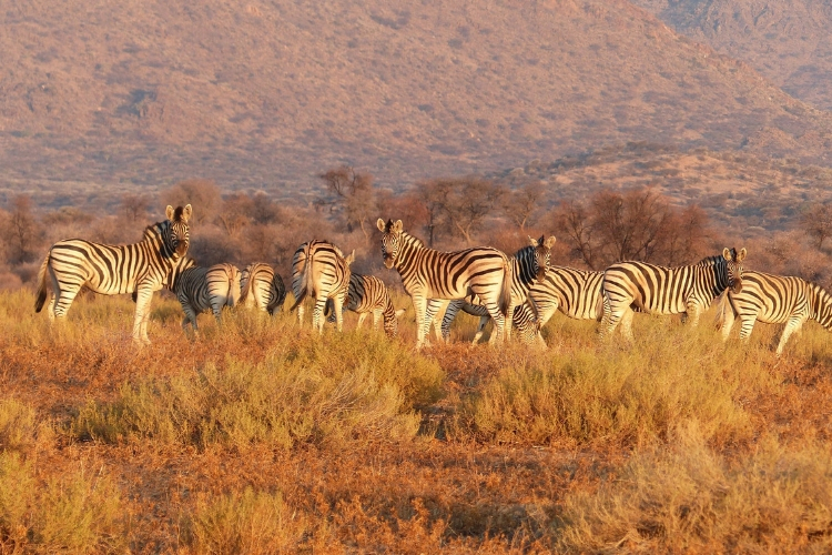 A zebra herd grazing and milling about.
