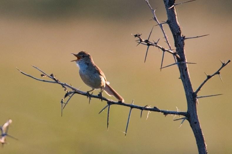 Gartenrohrsänger / african reed Warbler