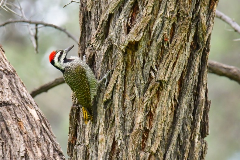 Bartspecht, bearded Woodpecker,