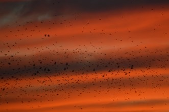 9-23-14_starlings_sunset-1-2