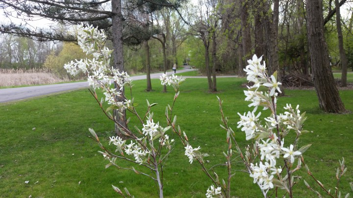 juneberry tree in bloom