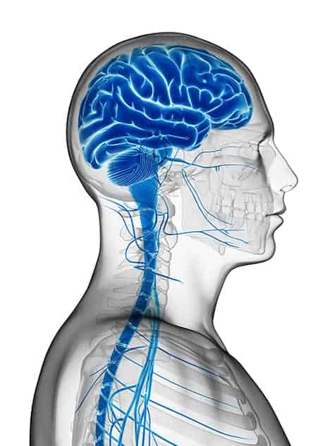 3D rendered illustration - male brain, vagus nerve, brain stem
