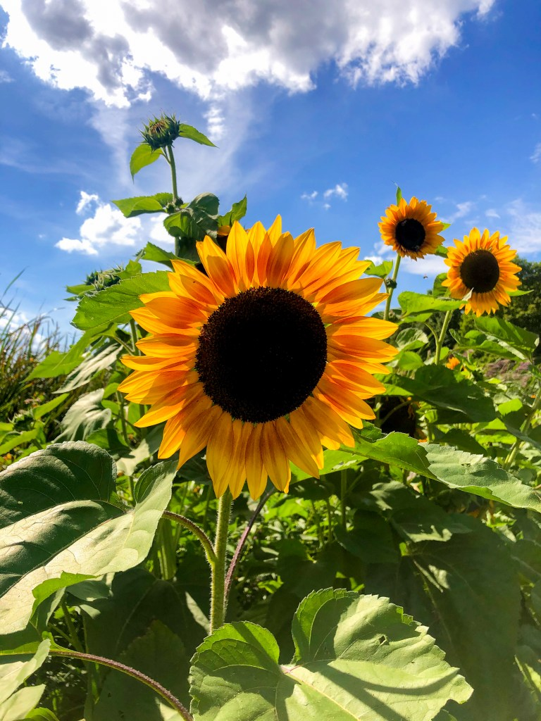 Pick your own sunflowers at bowman orchards in upstate NY