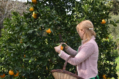 Nothing beats having oranges in your back garden