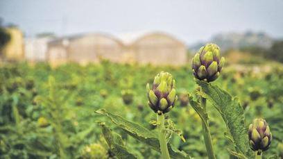 In season now, fresh artichokes from the fields of Mgarr