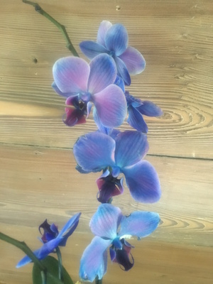 Close-up of blossoms on a Blue Mystique orchid plant.