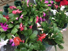 Different colored Christmas cactus at Ann Arbor's Downtown Home & Garden