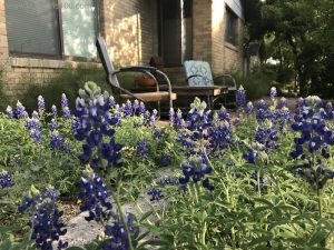 Bluebonnets in an Austin front yard with metal chairs spring 2018