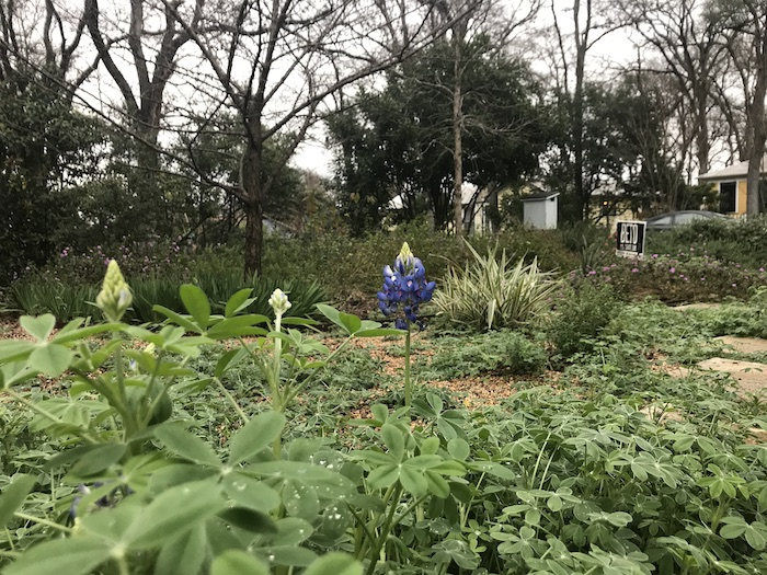 First bluebonnet bloom in central Texas yard in February