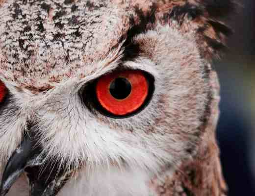image owl red eyes copyright Massimo Mancini