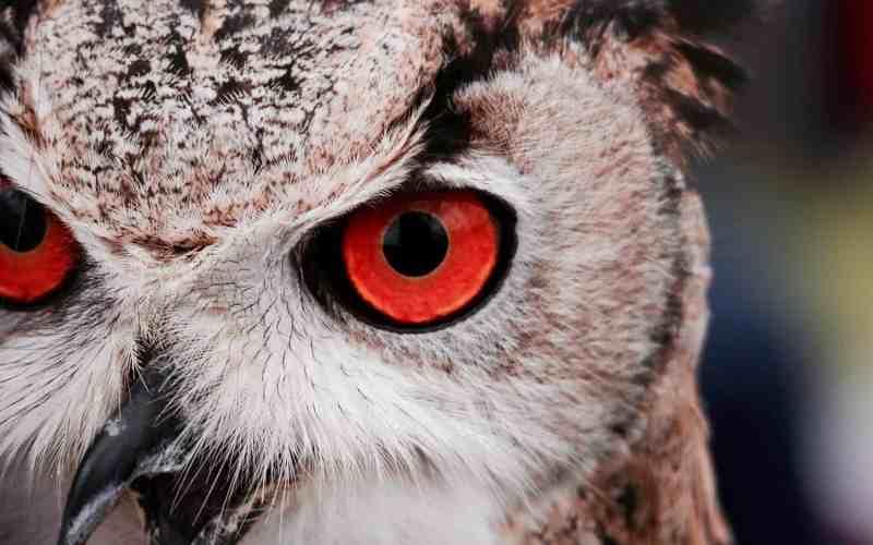 image owl red eyes copyright Massimo Mancini