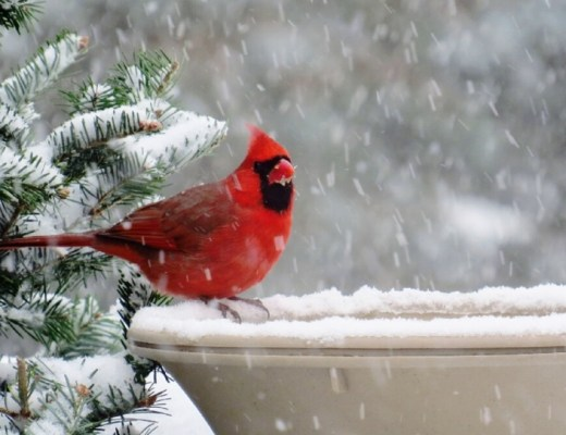 image post header december snow cardinal