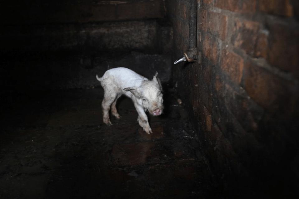 LEAL ANIMALISMO: LA SCELTA VEGANA SALVERÀ IL MONDO