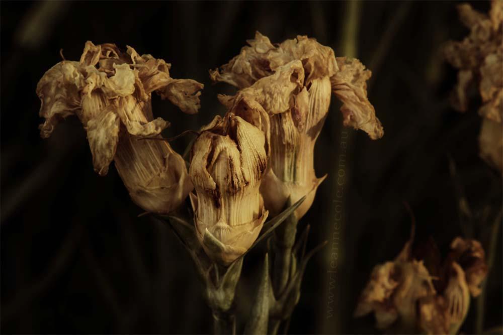 dead-carnation-flower-garden