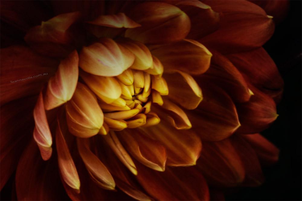 dahlia-flowers-mifgs-melbourne-macro