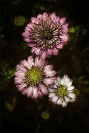 floraltrio-flowers-alowyn-gardens-macro