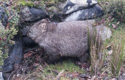 We saw the wombat as we were leaving Cradle Mountain